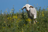 Cute Lamb on filed — Stock Photo