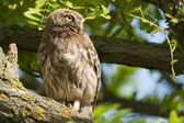 Little Owl on a tree — Stock Photo