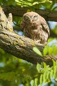 Mochuelo en un árbol — Foto de Stock