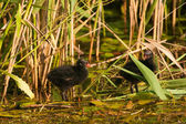 Moorhen Coot chicks — Stock Photo