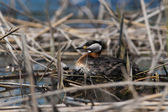 Red Necked Grebe on Nest — Stock Photo