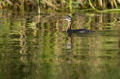 Red Necked Grebe — Stock Photo