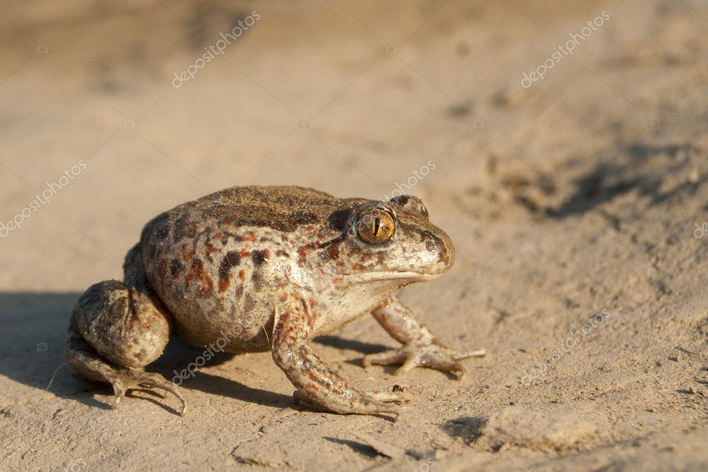 Common Spadefoot on the ground  Stock Photo #8318641