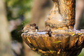 Mossies Afternoon Bird Bath Bathing — Stock Photo