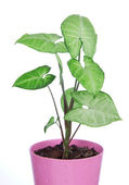 Green house plant in pink pot — Stock Photo