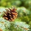 Pine cones, of its branches. — 图库照片