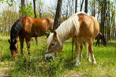 Two horses grazing in the forest. — Stock Photo