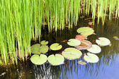 Reeds and water lilies in the garden pond. — Stock Photo