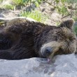 Bear relaxes — Stockfoto