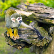 Royalty-Free Stock Photo: Common squirrel monkey