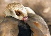 野生のカモ — ストック写真