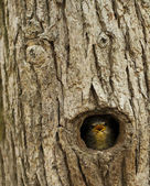 Common Blackbird nestlings, the beech tree hole. — Stock Photo