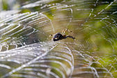Web spider and water droplets in the wild. — Stock Photo