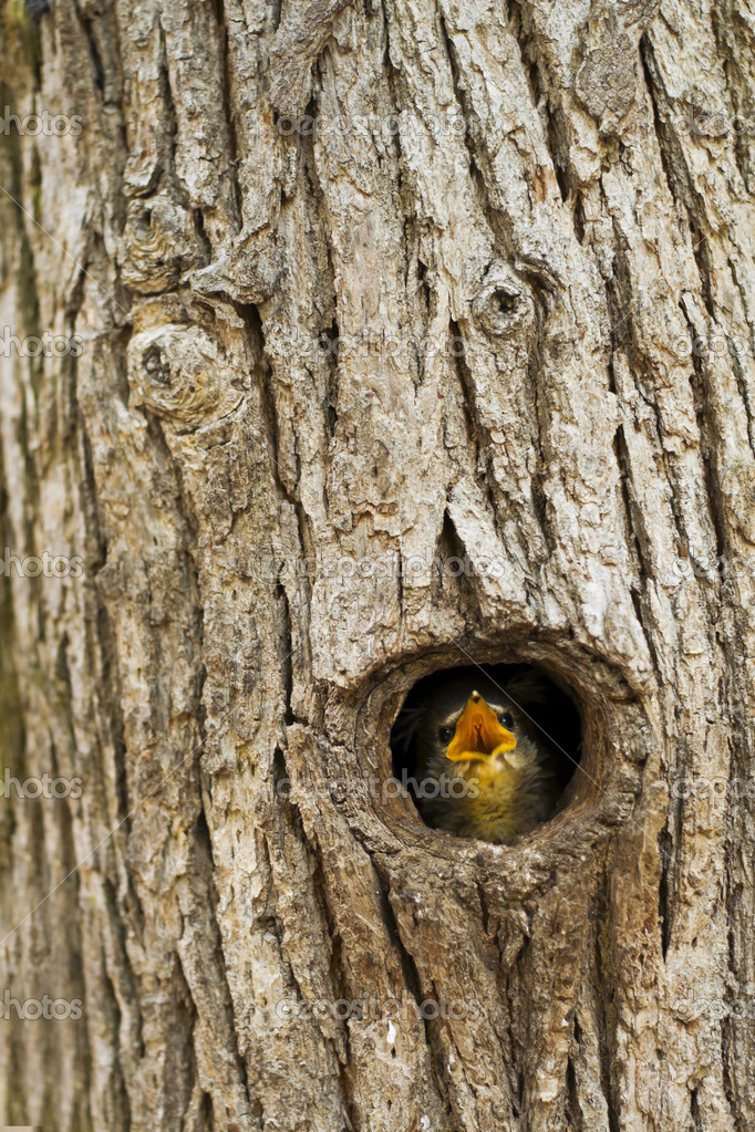 Common Blackbird nestlings, the beech tree hole. — Stock Photo #10634331