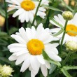 Close up of chamomile on green meadow. Selective focus. — Stock Photo #7992184