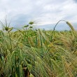 Green rye on field. Dramatic cloudy sky behind. — Stock Photo #7992447
