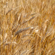 Field of rye ready for harvest. — Stock Photo