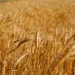 Field of rye before harvest vertical landscape. — Stock Photo #7993476
