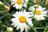 Close up of chamomile on a green meadow. Selective focus. — Stock Photo