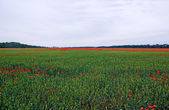 Lot of red poppys among green dye on the field. — Stock Photo