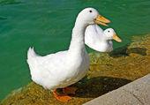 White goose near pond in Ciutadell park. Barcelona, Spain. — Stockfoto