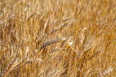 Field of rye ready for harvest. — 图库照片