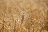 Rye before harvest close up photography. — Foto de Stock