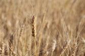 Rye before harvest macro photography. Selective focus. — Stock Photo