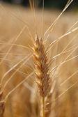 Rogge voor oogst macrofotografie. warme kleur. — Stockfoto