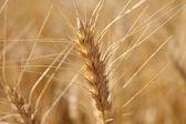 Centeio antes macrofotografia de colheita. luz quente de verão. — Fotografia Stock