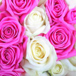 Pink and white roses as textured background or backdrop. — Stock Photo
