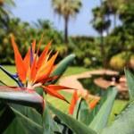fleur de beaux oiseaux de paradis, appelée strelitzia. Parc sur — Photo