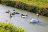 Swan familie zwemmen in water in de buurt van veld, nederland, europa. — Stockfoto