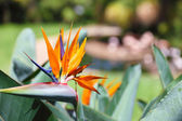 Beautiful Bird of Paradise flower, known as Strelitzia. Park on — Stock Photo