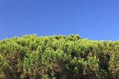 Gran cantidad de cedro y azul cielo como fondo o telón de fondo. espacio vacío — Foto de Stock