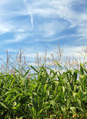 Maize field and beautiful sky. Good as background or backdrop. — Stock Photo