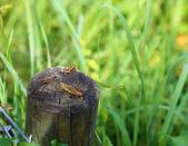 Geasshopper tre seduti insieme su un post in legno presso il meado — Foto Stock