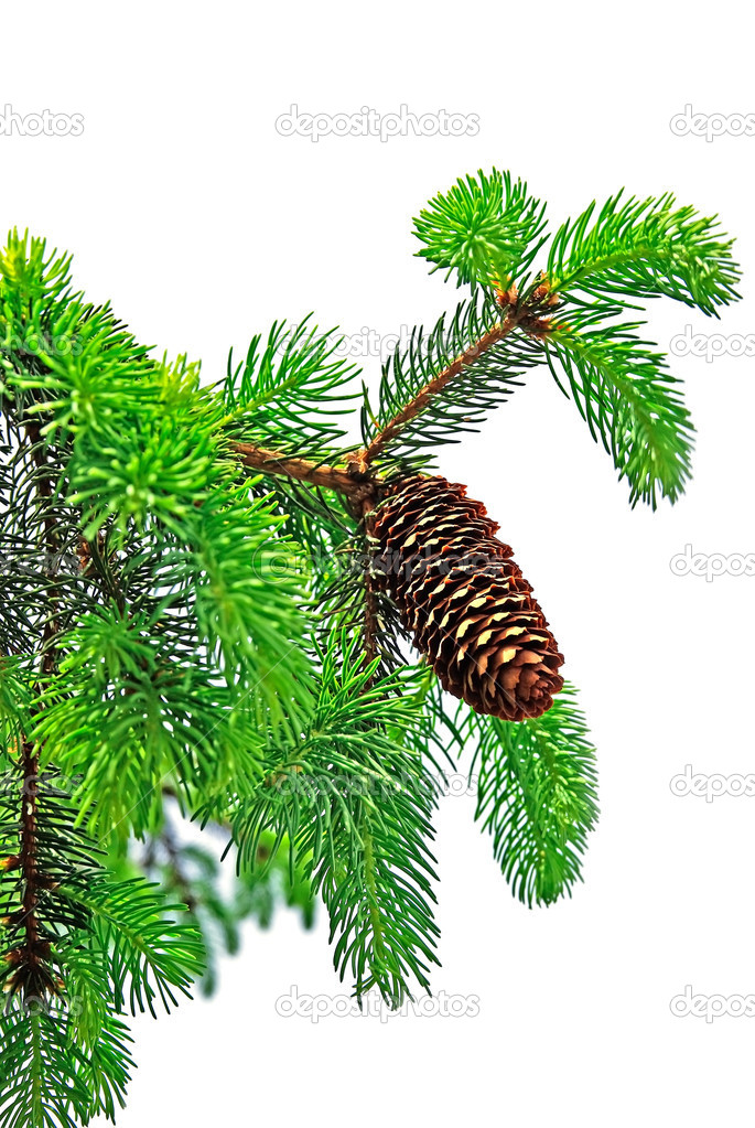 Branch of pine tree with cone isolated on white background. — ストック写真 #8108669