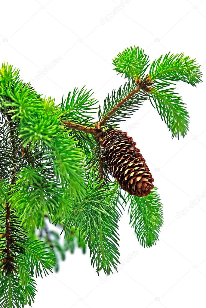 Branch of pine tree with cone isolated on white background. — Стоковая фотография #8108669