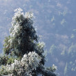 Icy pine tree branch — Stock Photo