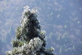 Icy pine tree branch — Stock Photo