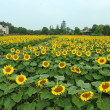 Stock Photo: Chinvillage near sunflower field