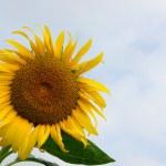 Sunflower under blue sky — Stock Photo