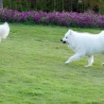 Samoyed dog running — Stock Photo