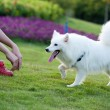 Samoyed dog running — Stock Photo