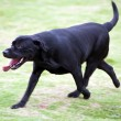 Labrador dog running — Stock Photo