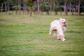 Afghan hound dog running — Stock Photo