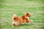 Pomeranian dog running — Stock Photo