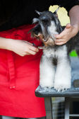 Miniature Schnauzer dog haircut — Stock Photo