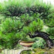 China bonsai — Stock Photo #8304744